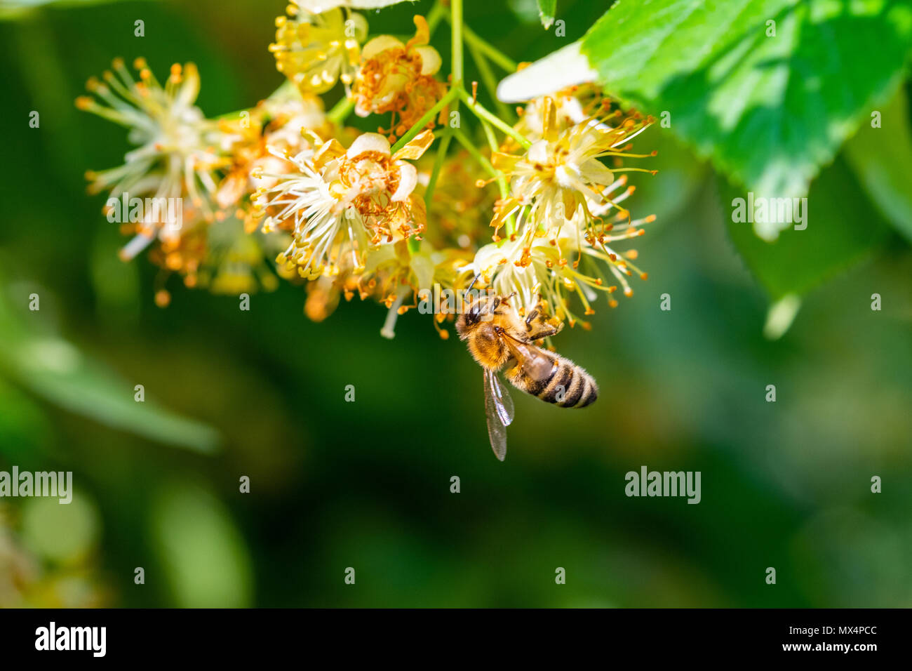 Honey bee in Linden Flowers, Apis Carnica in Linden Flowers, close up of Bumble bee collecting nectar, honey, bee pollinating - Stock Image