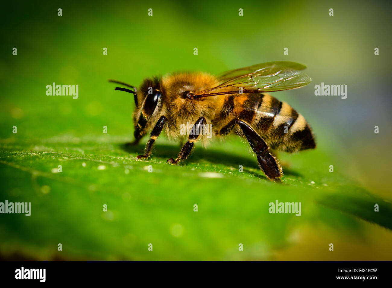Bumblebee in Linden Flowers, close up of Bumble bee collecting nectar, honey - Stock Image