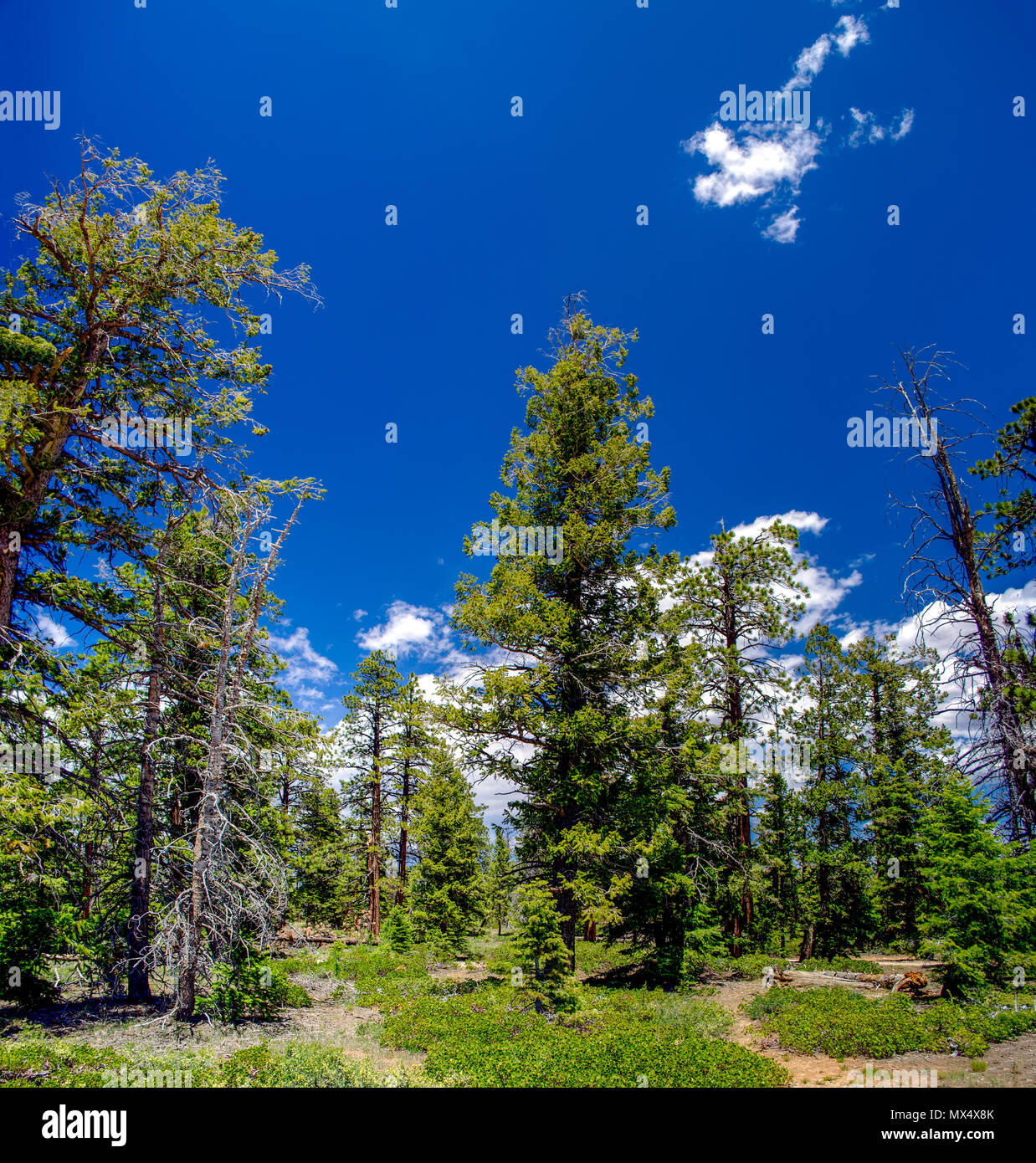 Paths leading through a forest with green ground cover, tall trees under a blue sky with white fluffy clouds. - Stock Image