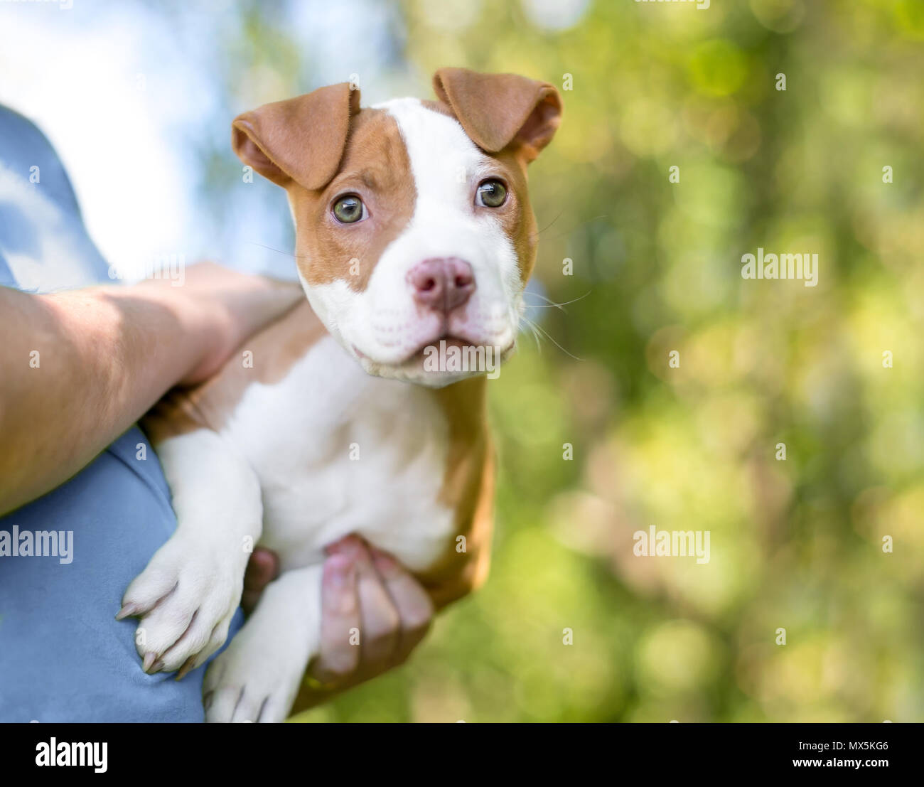 A cute red and white Pit Bull Terrier mixed breed puppy in the arms of its owner - Stock Image