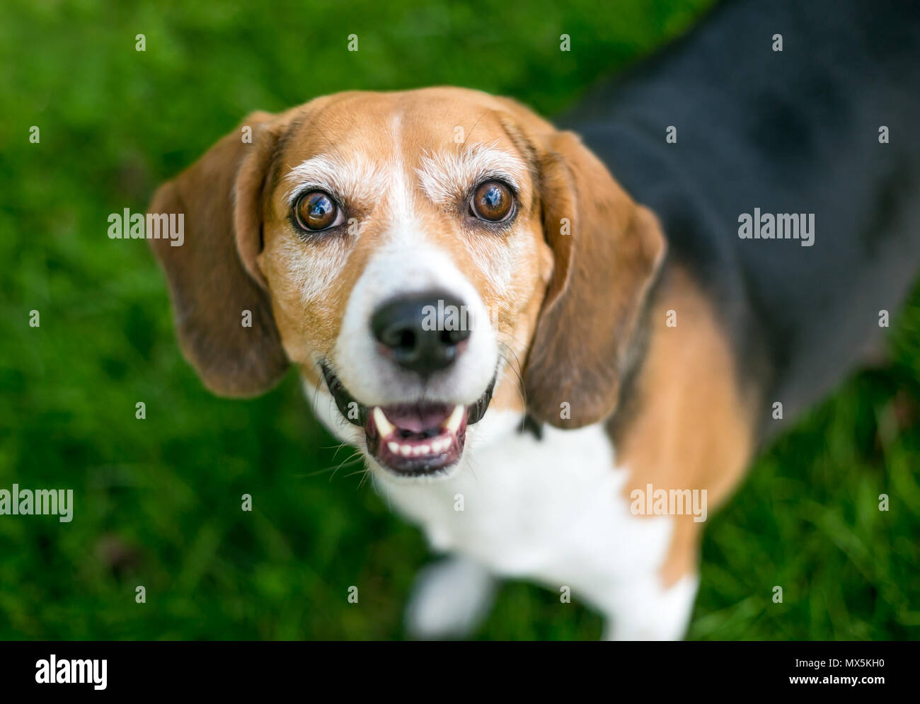 A happy tricolor Beagle dog looking up - Stock Image
