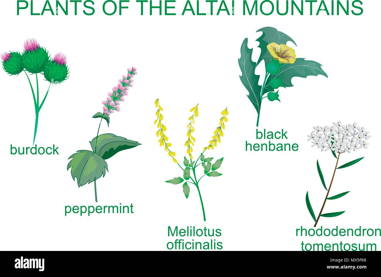 ILLUSTRATION OF MEDICINAL PLANTS OF THE ALTAI MOUNTAINS - Stock Vector