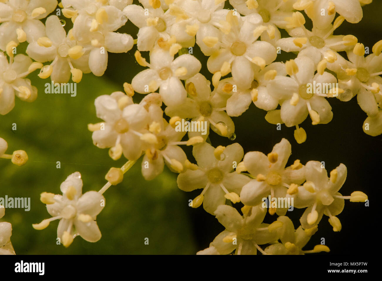 Small White Clustered Flowers Stock Photos Small White Clustered