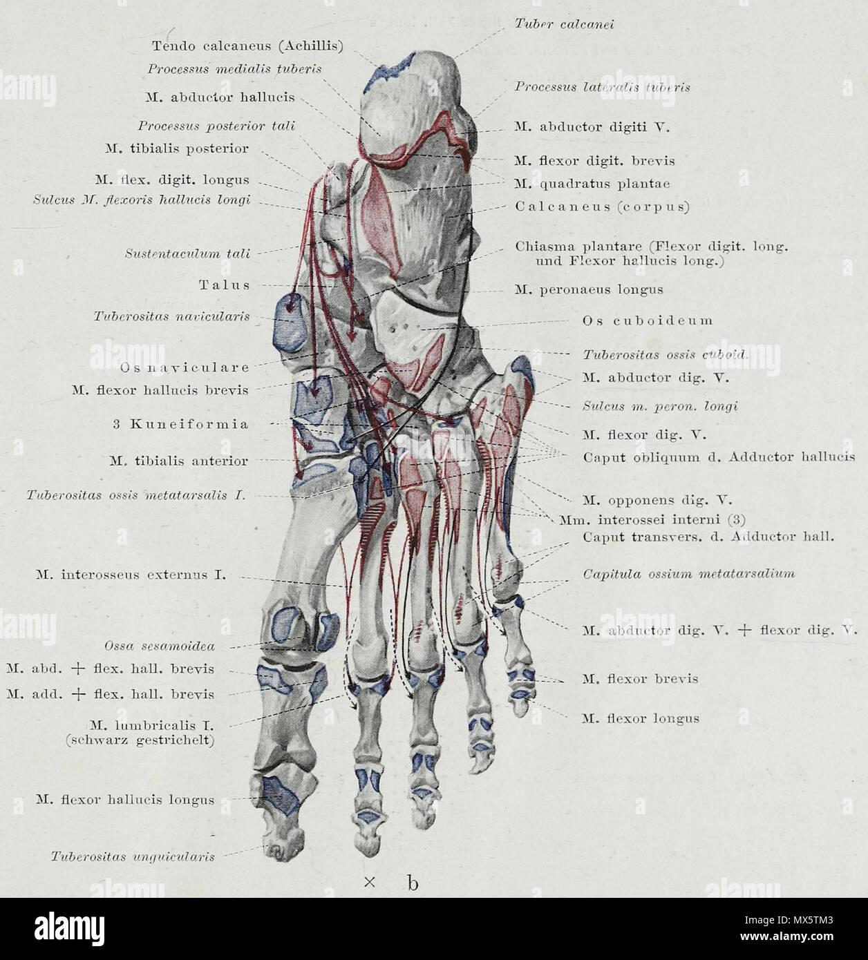 Erfreut Anatomie Eines Hummer Fotos - Anatomie Von Menschlichen ...