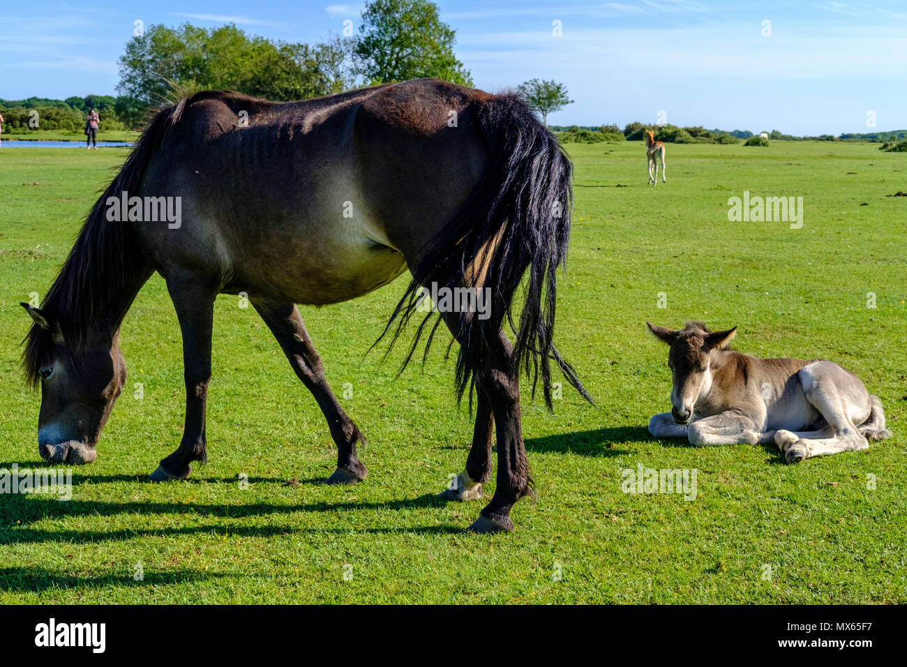 New Forest 2nd June 2018. New Forest Ponies with new born foals in glorious flaming June sunshine . The New Forest pony is one of the recognised mountain and moorland or native pony breeds of the British Isles. Height varies from around 12 to 14.2 hands; ponies of all heights should be strong, workmanlike, and of a good riding type. Credit Paul Chambers  Alamy LiveNews - Stock Image
