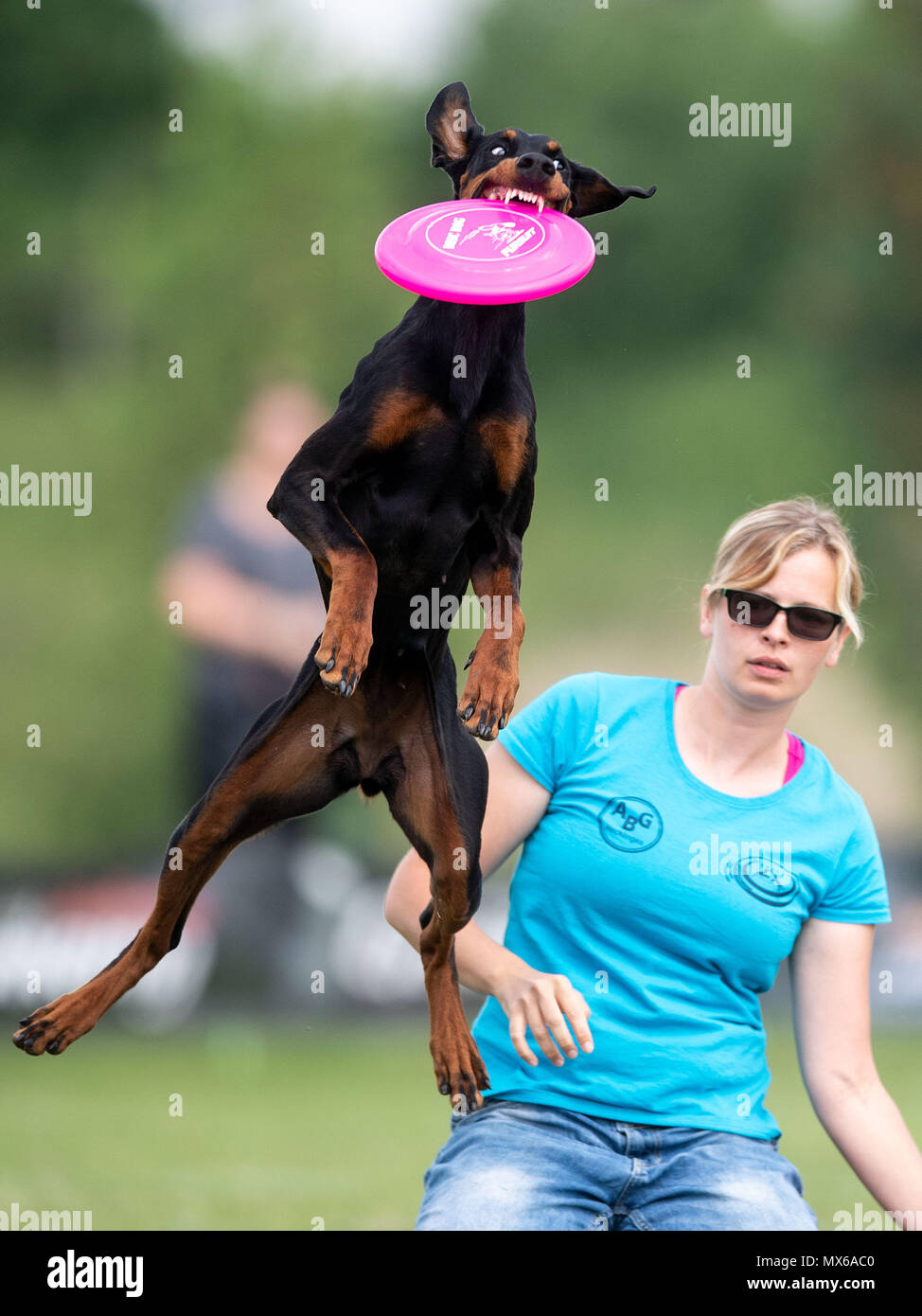 03 May 2018, Germany, Erftstadt: Franziska Wieland and her dog Cagiva taking part in the discipline 'freestyle' at the dog frisbee tournament. The participant throws up to seven frisbees that his dog has to catch. The freestyle event is combined to music. Around 60 particpants from 7 countries take part in the event. Photo: Marius Becker/dpa Stock Photo