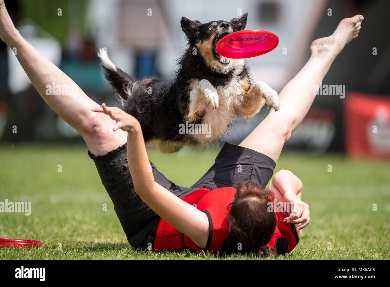 03 May 2018, Germany, Erftstadt: Nadine Averesch and her dog Fanta taking part in the discipline 'freestyle' at the dog frisbee tournament. The participant throws up to seven frisbees that his dog has to catch. The freestyle event is combined to music. Around 60 particpants from 7 countries take part in the event. Photo: Marius Becker/dpa Stock Photo