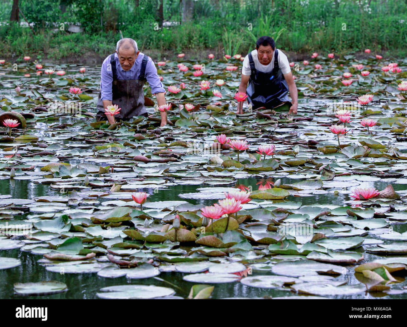 Changxing Chinas Zhejiang Province 3rd June 2018 Flower Growers