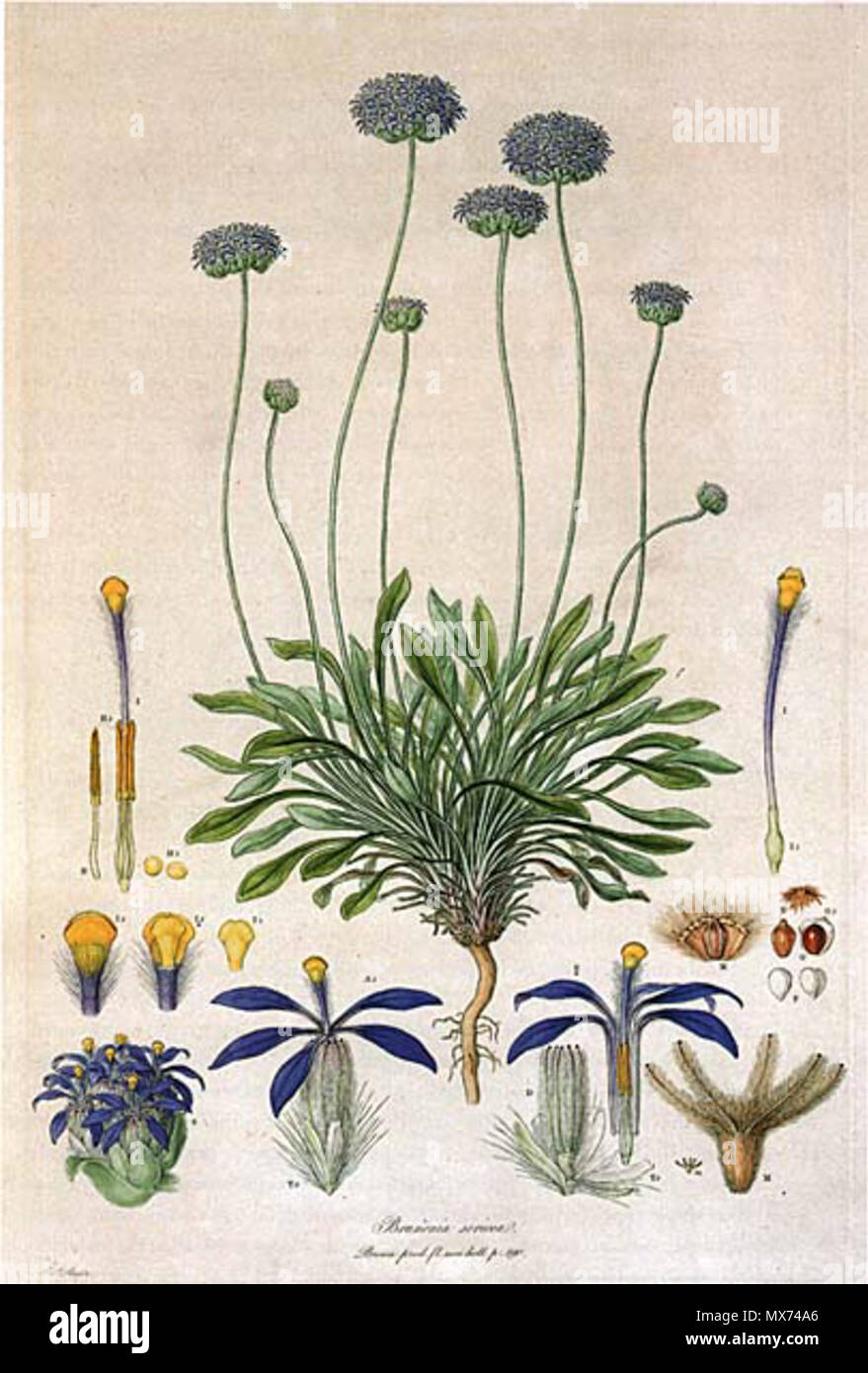 . This is a scan of Plate 10 from Ferdinand Bauer's Illustrationes Florae Novae Hollandiae. The plant featured is Brunonia australis (Blue Pincushion), then known as Brunonia sericea. early 19th century. Ferdinand Bauer (1760–1826) 103 Brunonia australis-Bauer Stock Photo