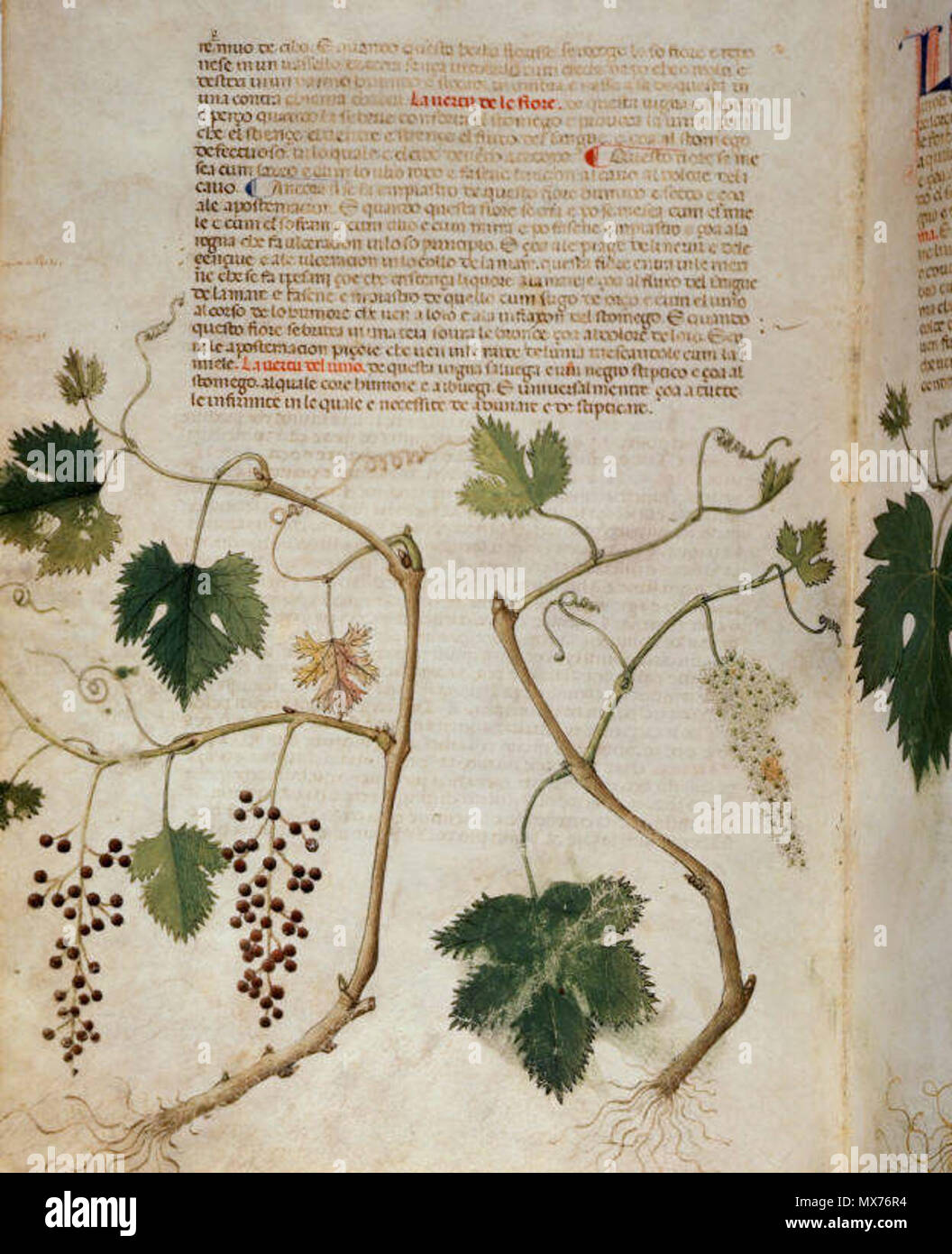 . English: arapion the Younger, Translation of the herbal (The 'Carrara Herbal'), including the Liber agrega, Herbolario volgare; De medicamentis, with index (ff. 263-265) Italy, N. (Padua); between c. 1390 and 1404 . between c. 1390 and 1404. An Italian translation, possibly from a Latin translation, of a treatise orginally written in Arabic by Serapion the Younger (Ibn Sarabi, likely 12th century). 115 Carrara Herbal19 - Stock Image