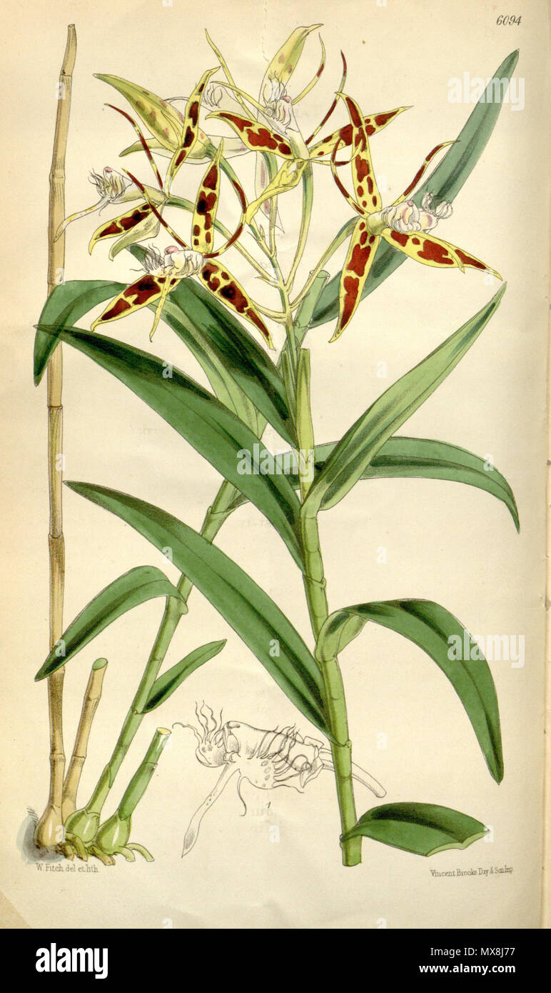. Illustration of Epidendrum criniferum . 1874. Walter Hood Fitch (1817-1892) del. et lith. Description by Joseph Dalton Hooker (1817—1911) 192 Epidendrum criniferum - Curtis' 100 (Ser. 3 no. 30) pl. 6094 (1874) - Stock Image