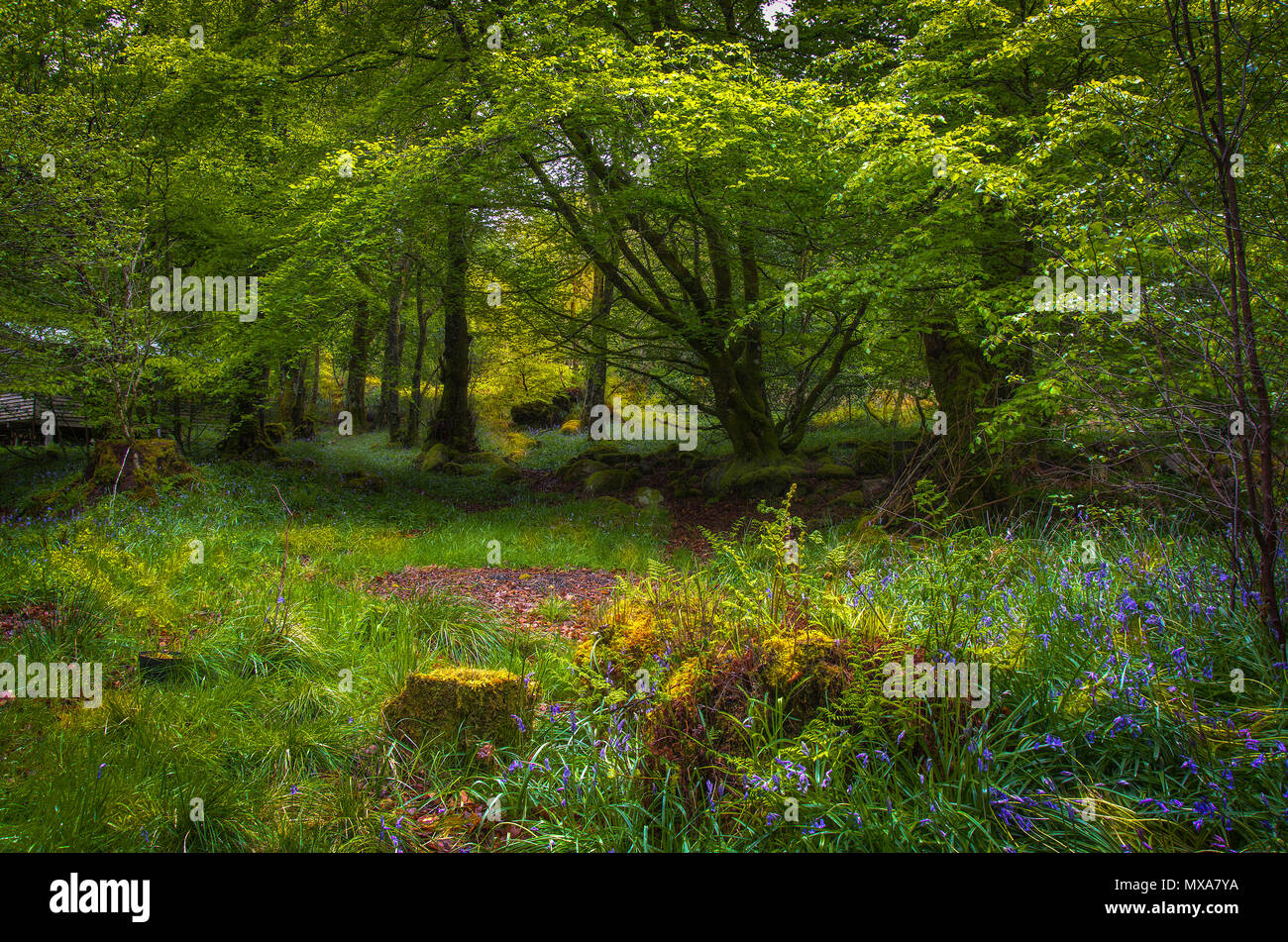 Enchanting Fairy Glen in Scotland sun setting on the opening in the forest. sunlight shining through trees on to meadow. - Stock Image
