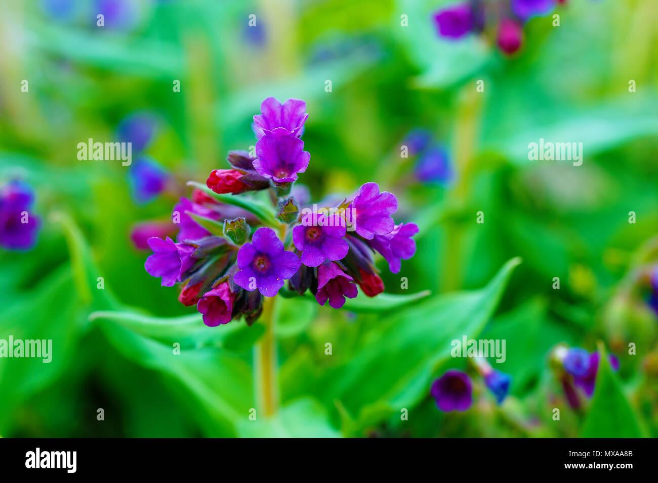 closeup detail of meadow flower - wild healing herb - Pulmonaria mollis. - Stock Image