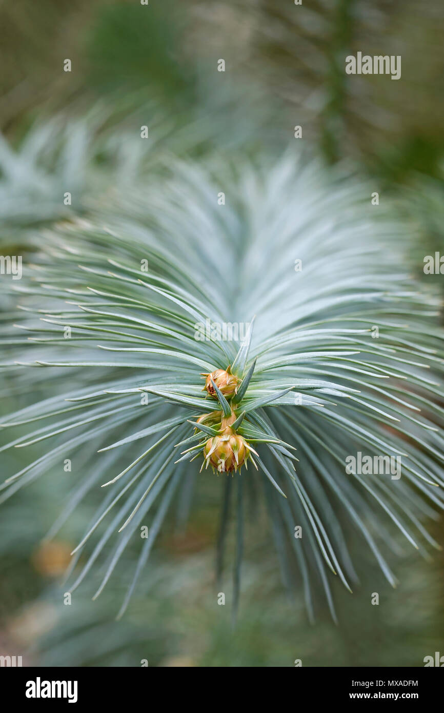 Blue-needled china fir (Cunninghamia lanceolata Glauca). Known as Blue china fir also. - Stock Image