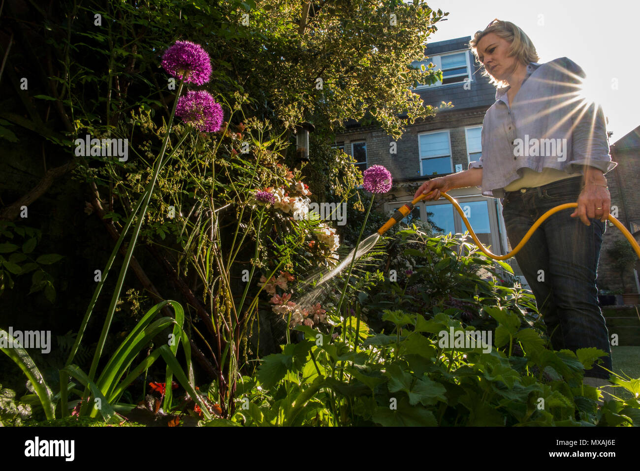 A lady waters her garden with the summer sunshine bursting through ...