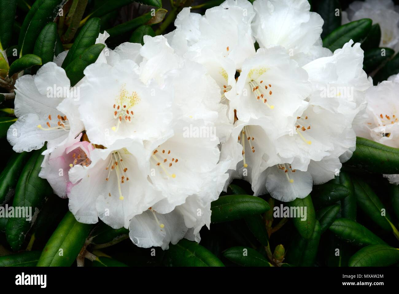 Trusses of pure white flowers of rhododendron yakushimanum koichrio trusses of pure white flowers of rhododendron yakushimanum koichrio wada mightylinksfo