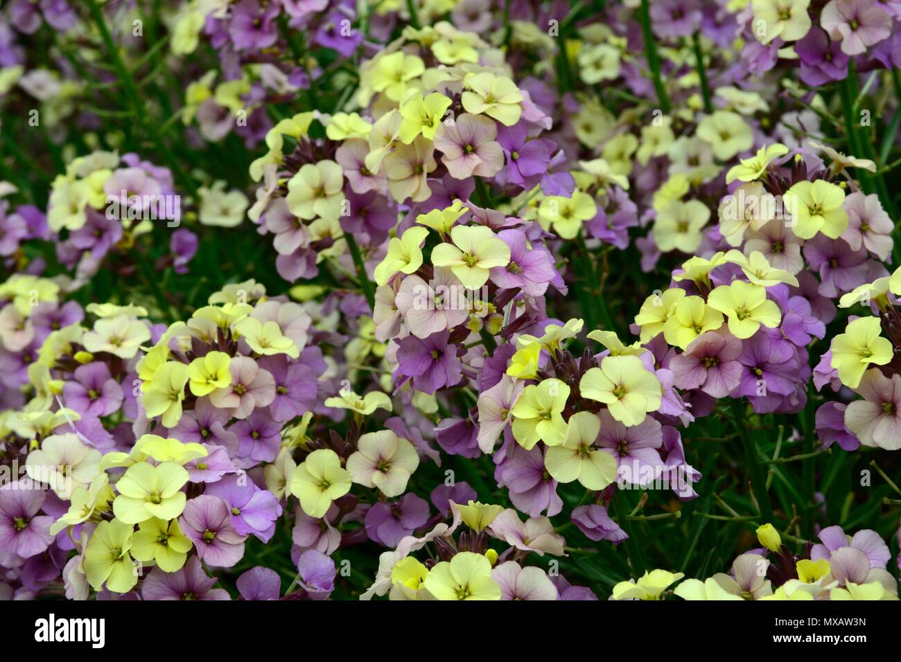 Erysimum Plant World Lemon perennial wallflower mauve purple yellow flowers - Stock Image