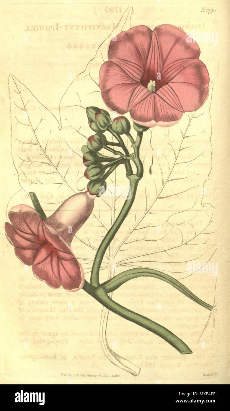 . Ipomoea mauritiana . 1816. John Sims 300 Ipomoea mauritiana (as I. insignis) Bot. Mag. 43.1790 Stock Photo