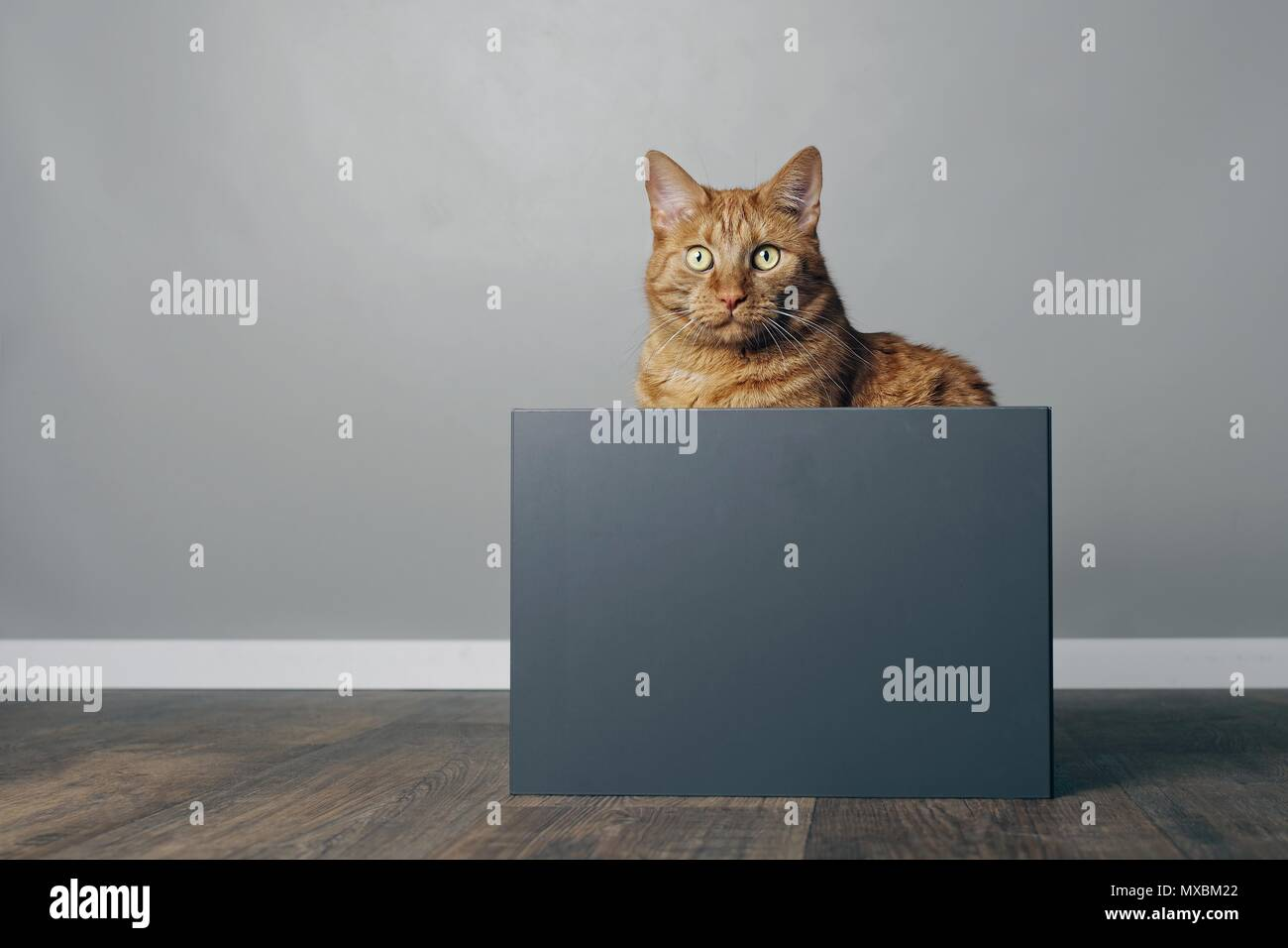 Cute ginger cat sitting in a grey box and looking curious to the camera. - Stock Image