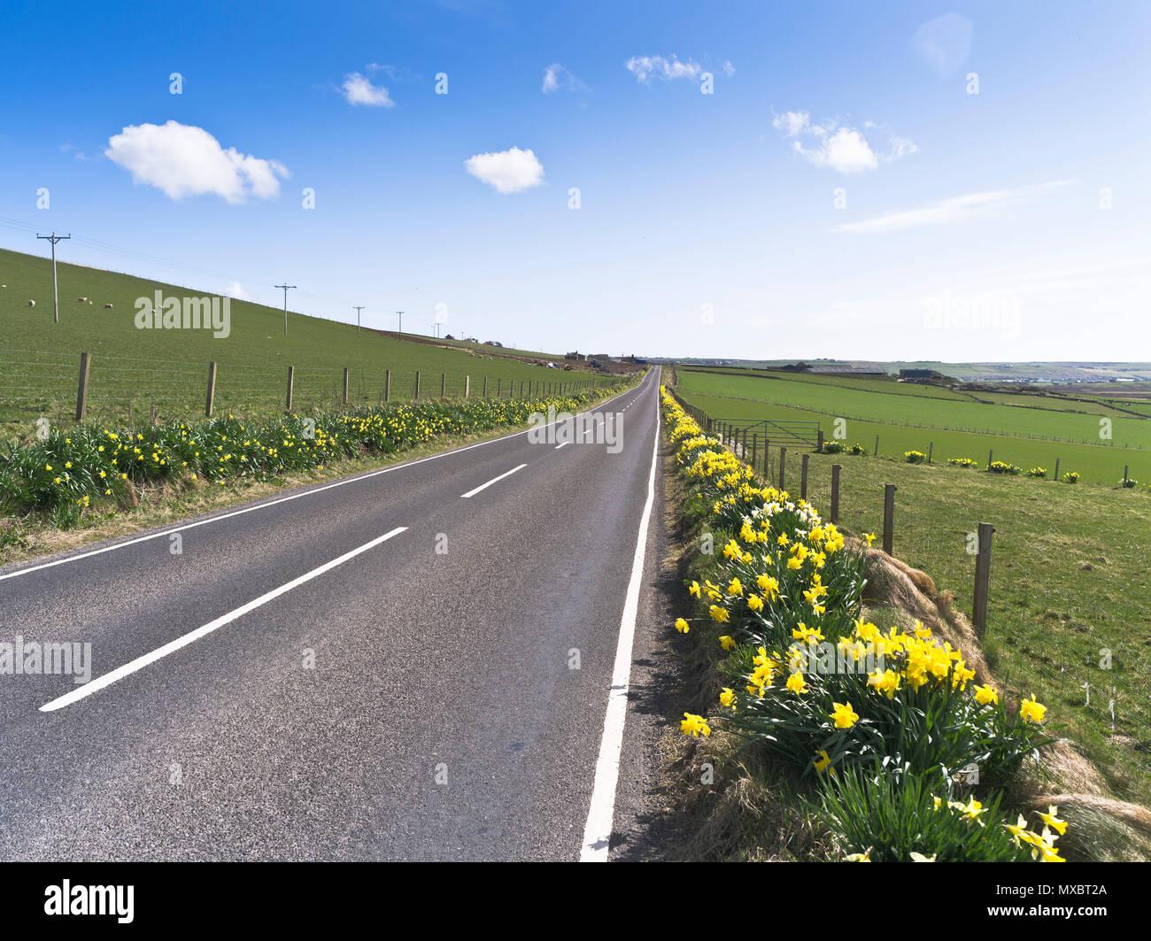 Empty ROAD ORKNEY Scottish isles deserted road daffodils roadside verge flowers scotland - Stock Image