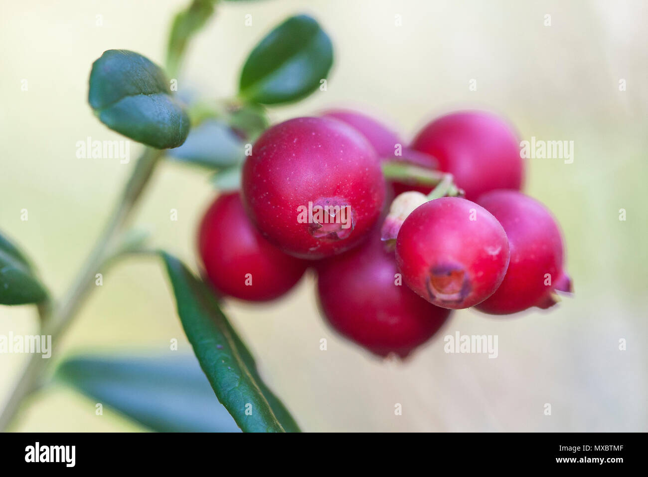 Vaccinium vitis-idaea (lingonberry, partridgeberry, or cowberry) is a short evergreen shrub in the heath family that bears edible fruit, native to bor - Stock Image