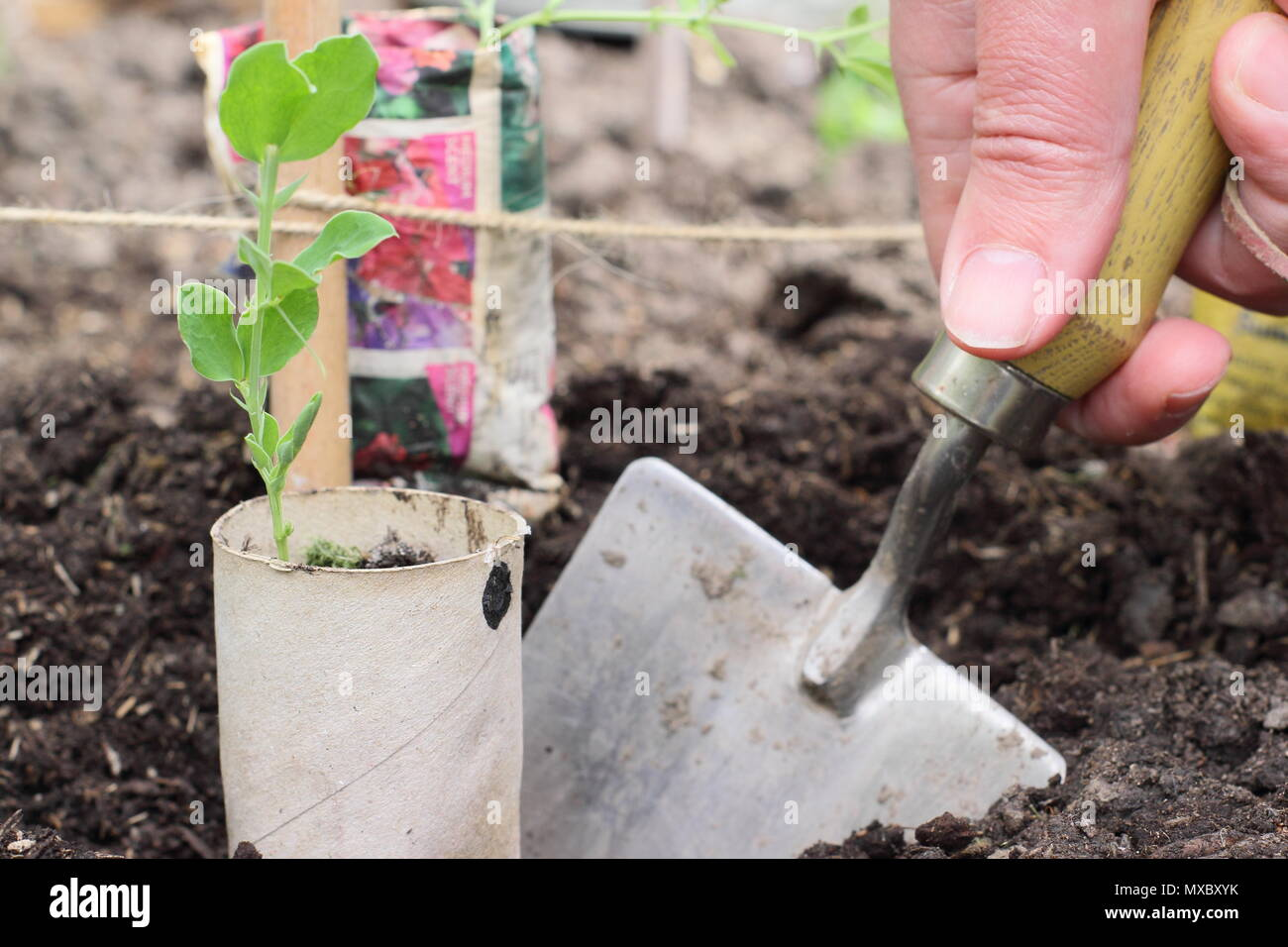 Lathyrus odoratus. Planting young sweet pea plants in recycled paper pots at the base of cane wigwam plant supports, spring, UK - Stock Image