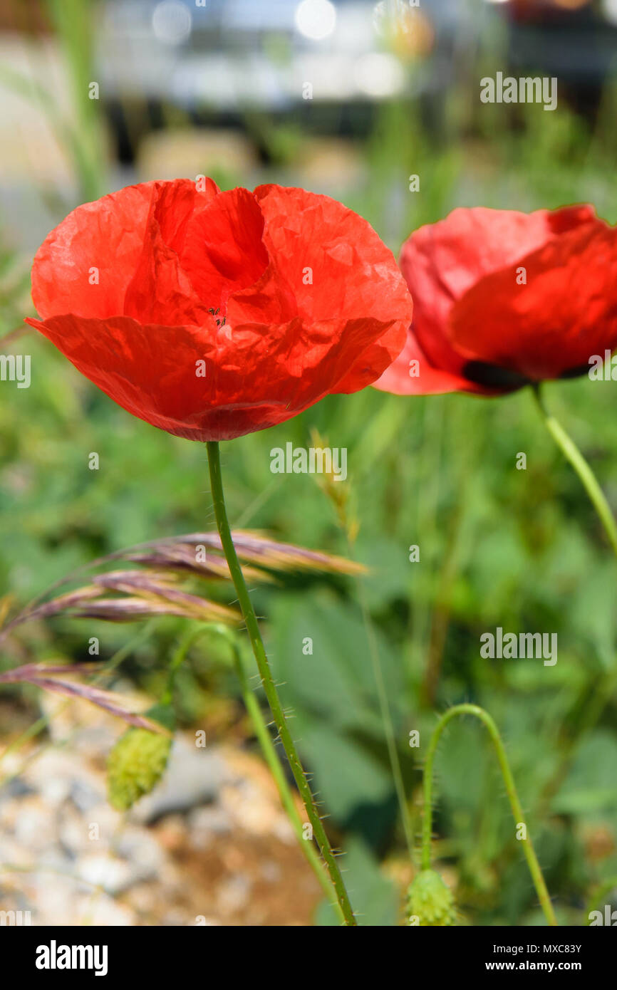 Floral Background Of Poppy Flowers Season Weather Concept Stock