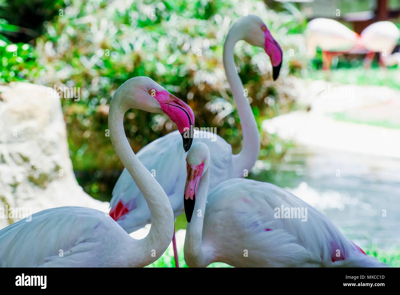 group of flamingos - Stock Image
