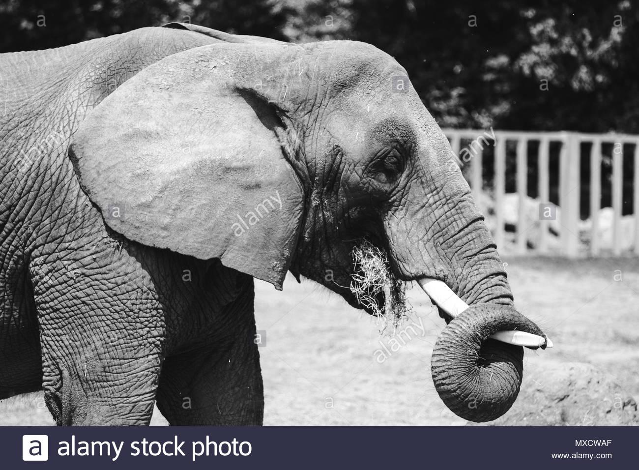 Elephant enjoying some food - Stock Image