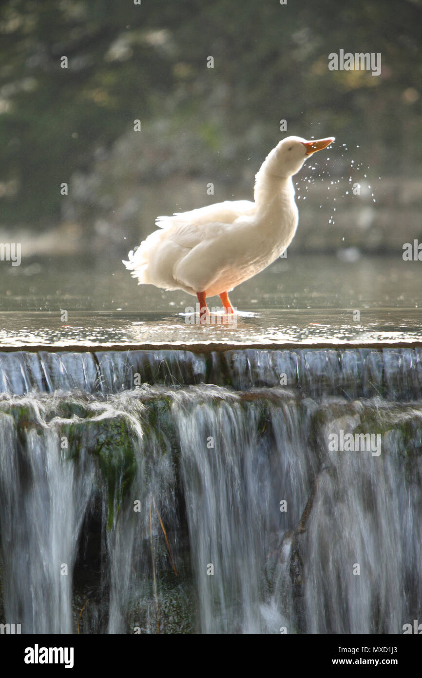 A White Goose washing in stream leading to a waterfall - Stock Image
