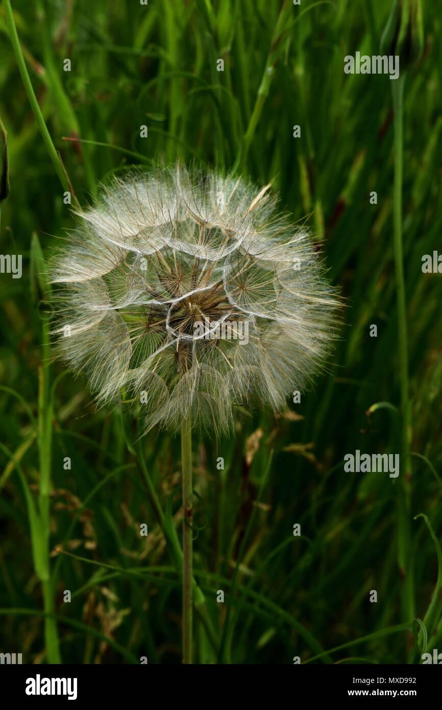 fluffy dandelion in june summer template design stock photo