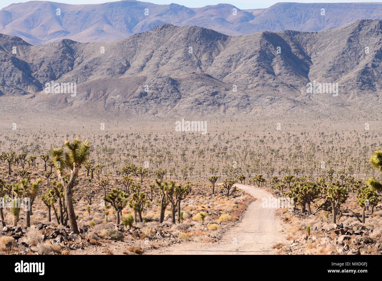 Joshua trees line the 50 miles of dirt road into Saline Valley in Death Valley National Park, California, USA. - Stock Image