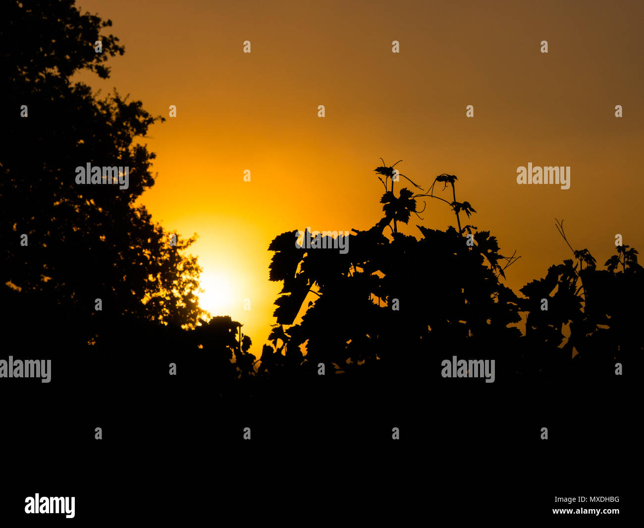 Grape vines in a French vineyard silhouetted against a golden sunset sky Stock Photo