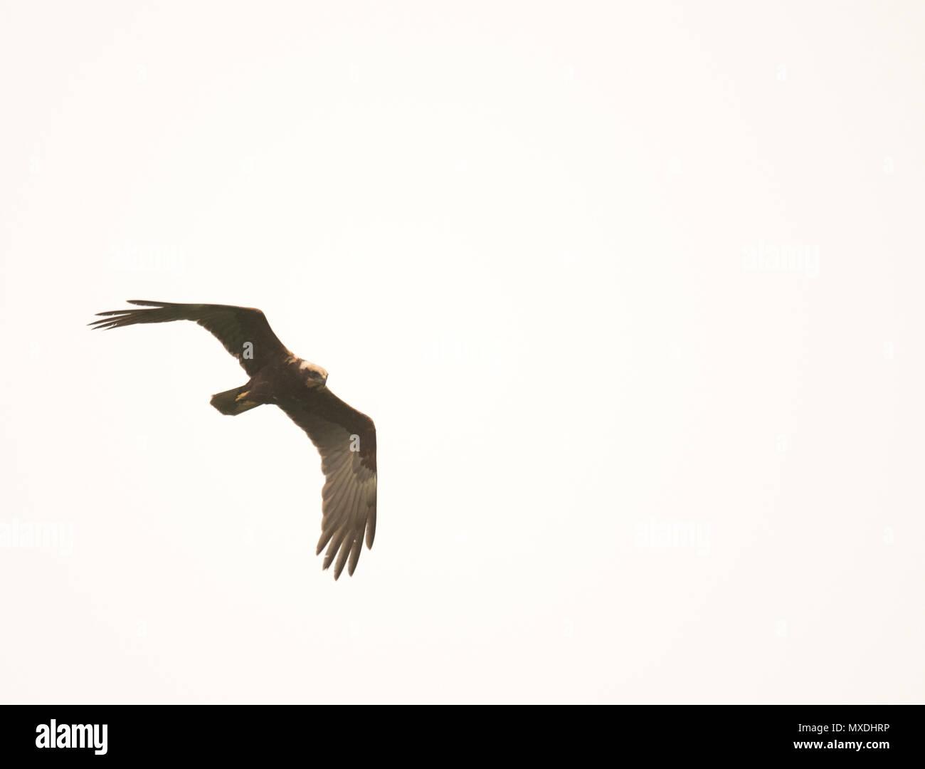 A wild Marsh harrier (Circus aeruginosus) in flight, Norfolk Stock Photo