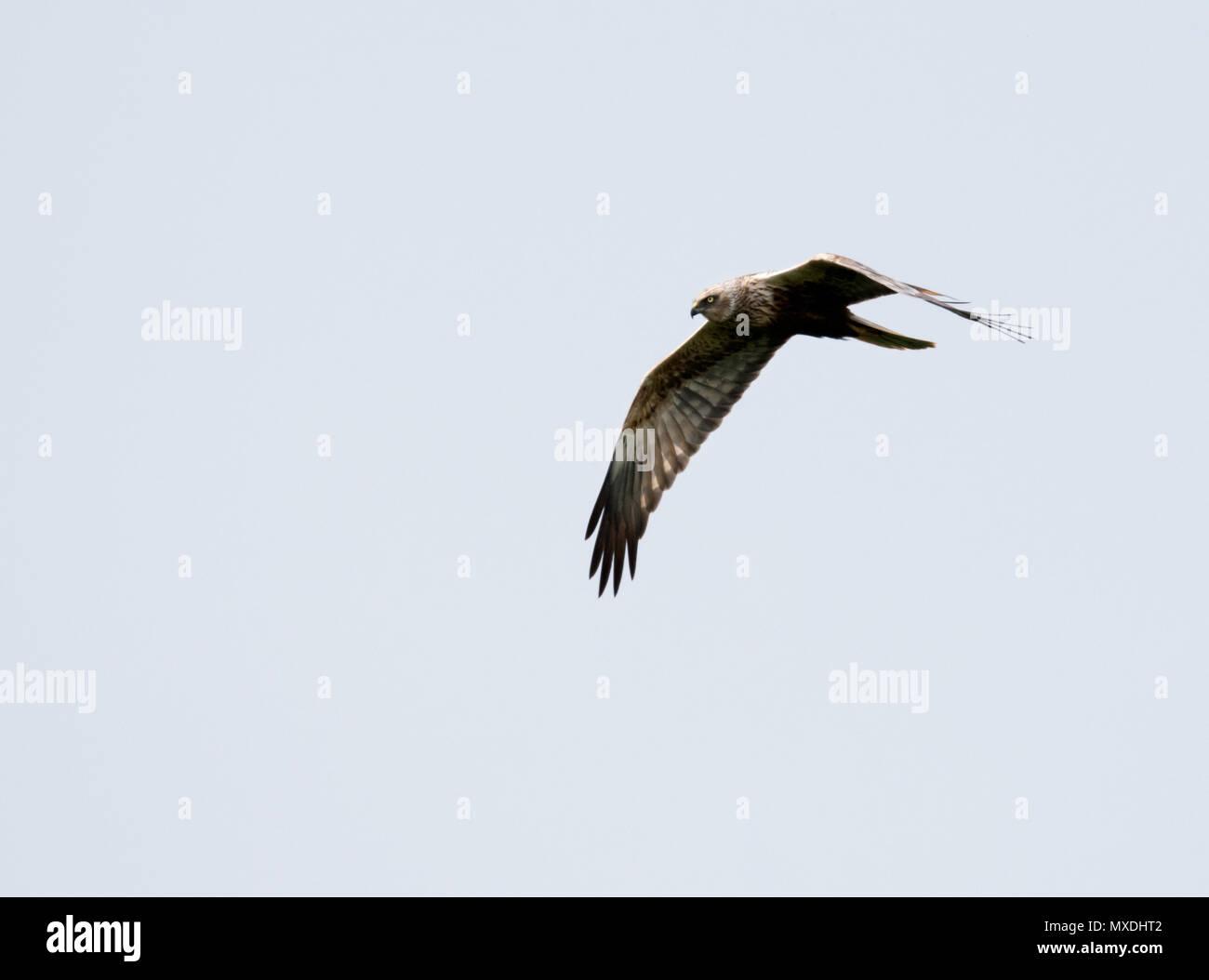 A wild male Marsh harrier (Circus aeruginosus) in flight, Norfolk Stock Photo