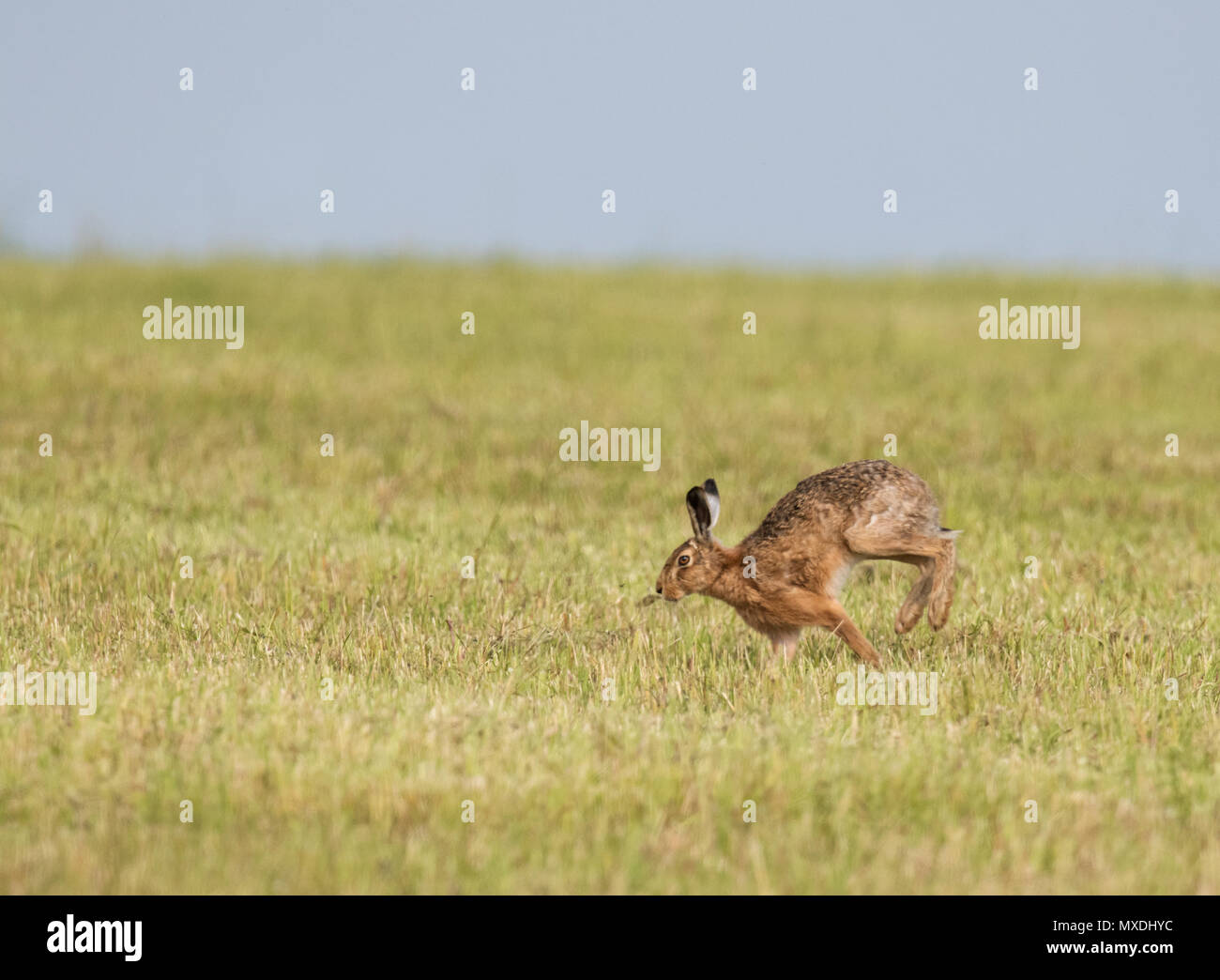 A  Brown hare (Lepus europaeus) running in the early evening sunlight across farmland, Norfolk - Stock Image