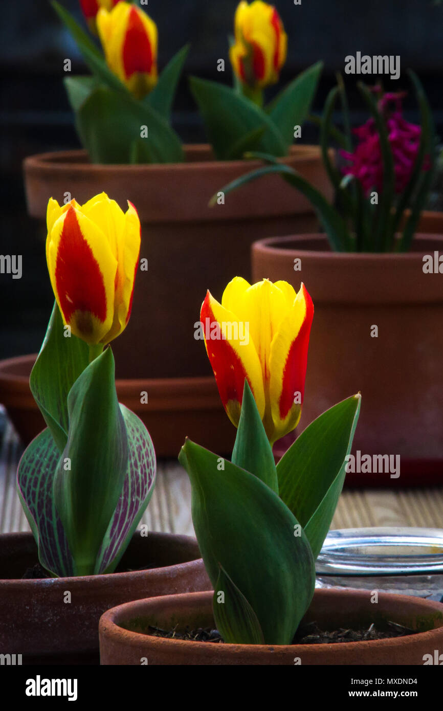 Red and yellow tulips planted singly in clay plant pots - Stock Image