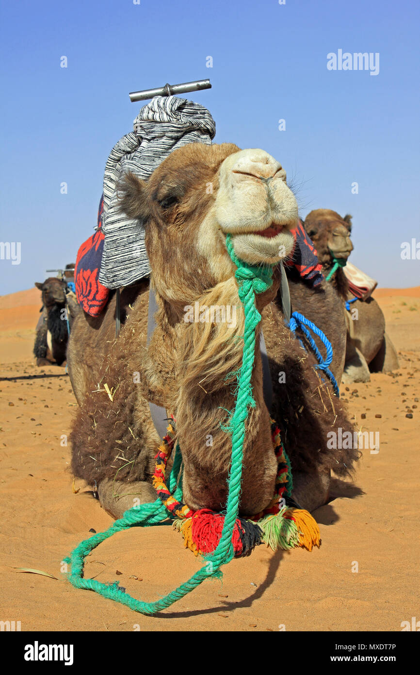 Camels saddled in preparation for taking tourists on Camel Trek in Sahara Desert, Merzouga, Morocco Stock Photo