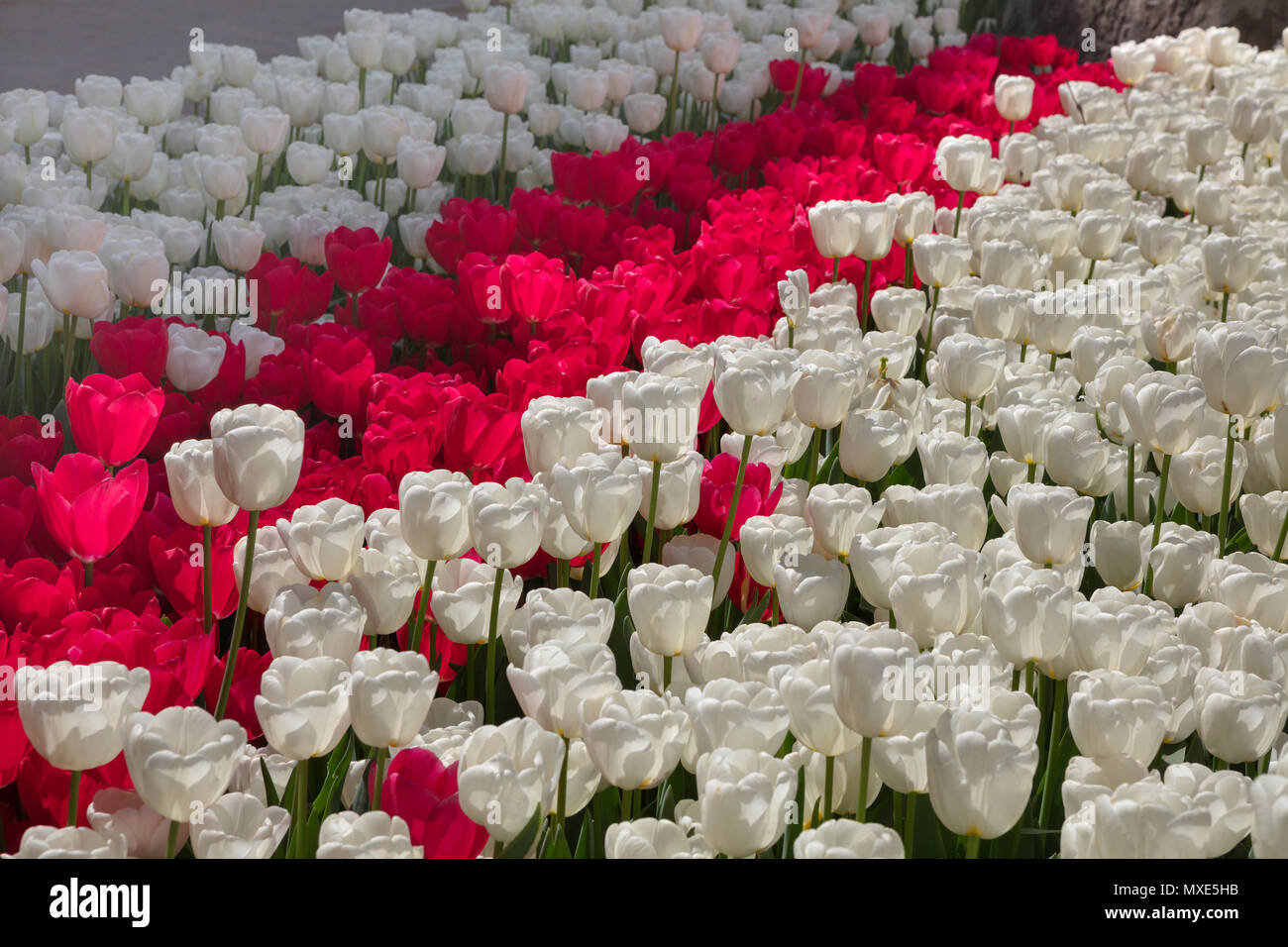Flower Tulips Background White And Red Tulips Field Under Spring