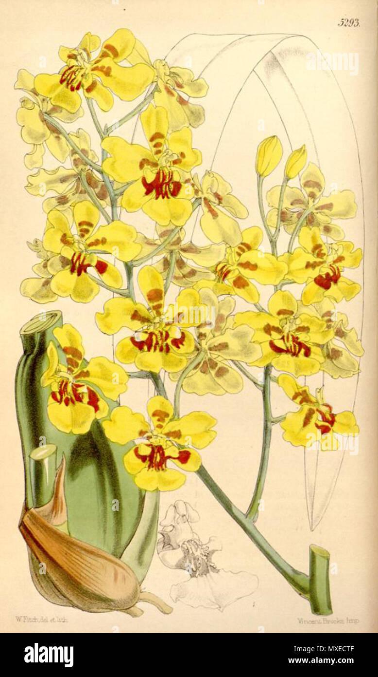 . Illustration of Oncidium excavatum . 1862. Walter Hood Fitch (1817-1892) del. et lith. 456 Oncidium excavatum - Stock Image
