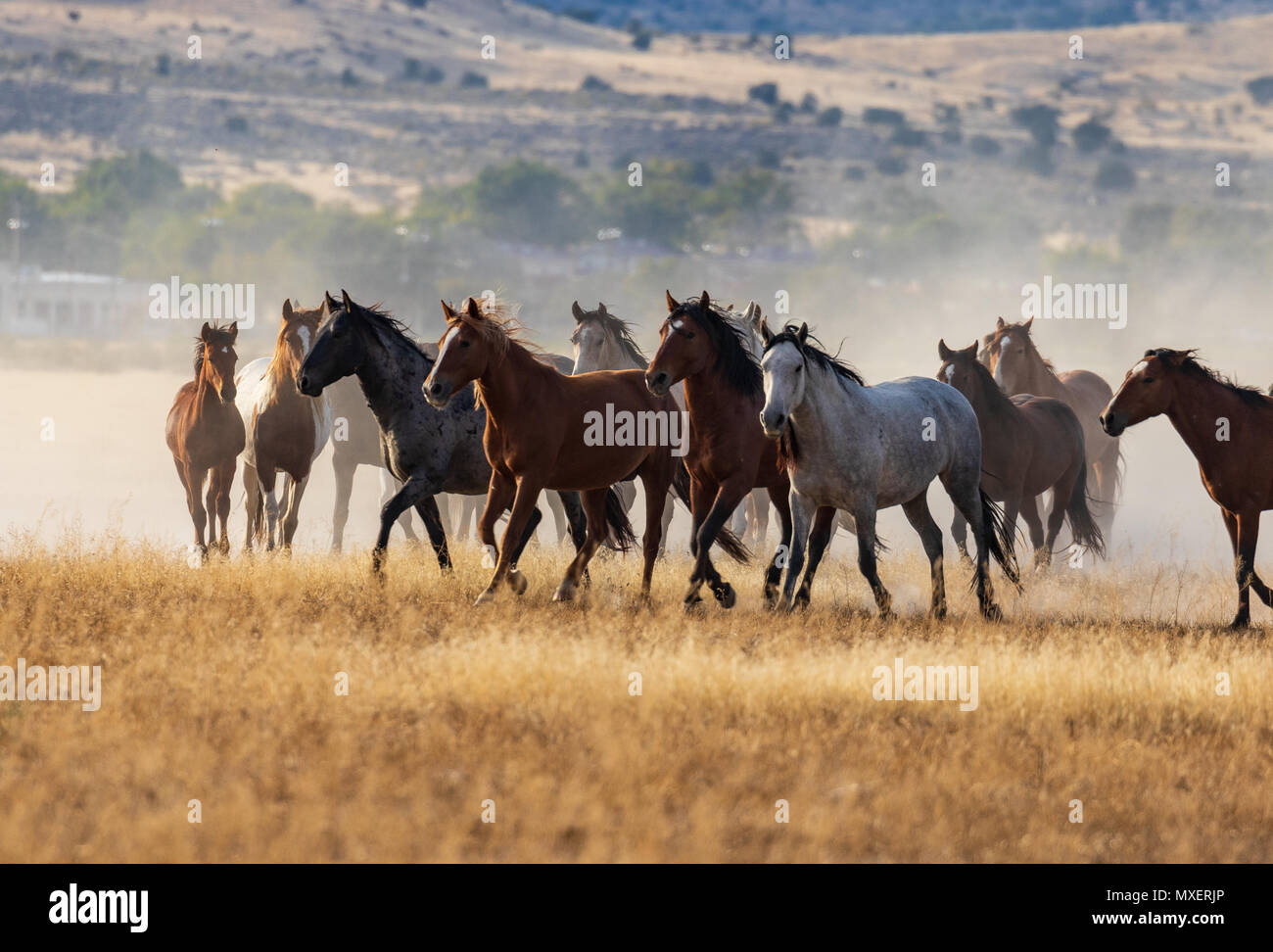 Wild Horses High Resolution Stock Photography And Images Alamy