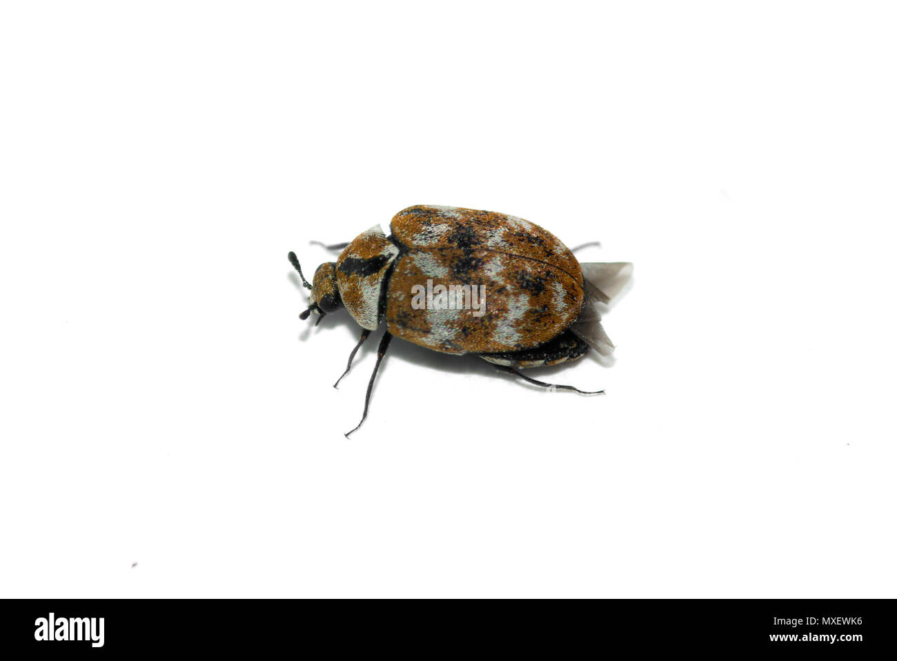 Lateral perspective of a tiny Carpet beetle (Anthrenus verbasci) adult insect isolated over a white background. - Stock Image