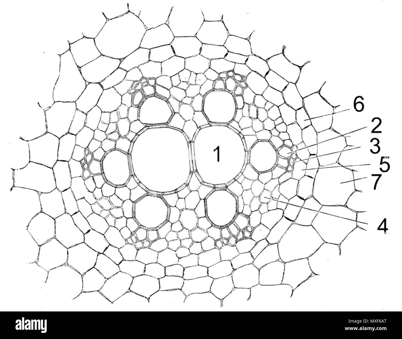 Vascular Bundle Cut Out Stock Images & Pictures - Alamy