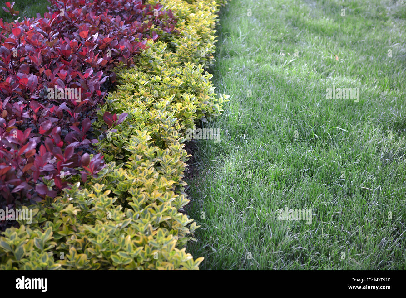 An ornamental garden shrub at lawn angle ; The bright golden yellow and red  leaves  contrasting with the manicured lawn - Stock Image