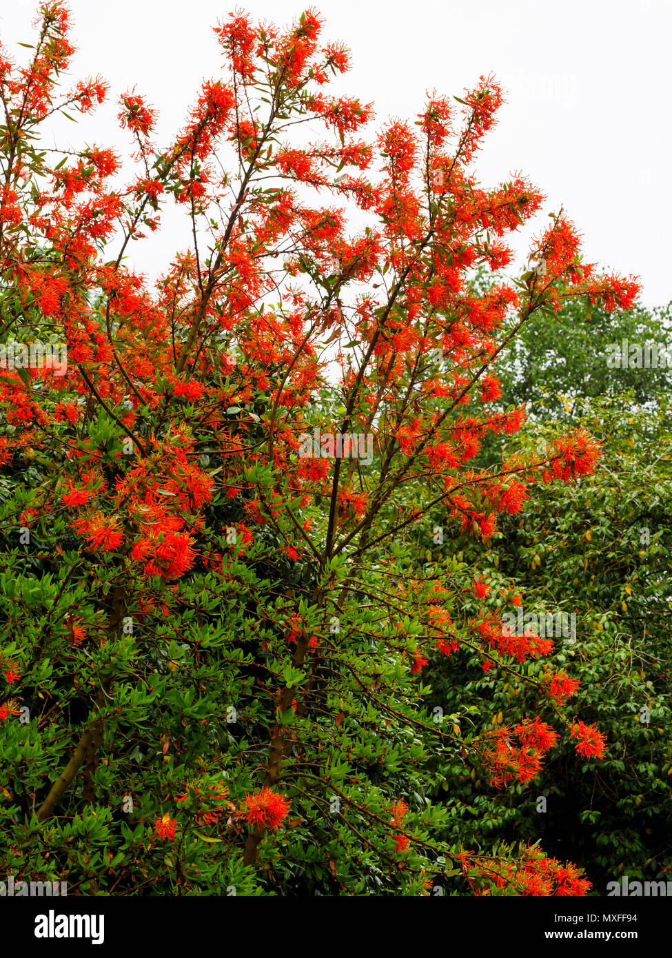 Bright red blooms of the Chilean flame tree, Embothrium coccineum, flowering in early summer Stock Photo