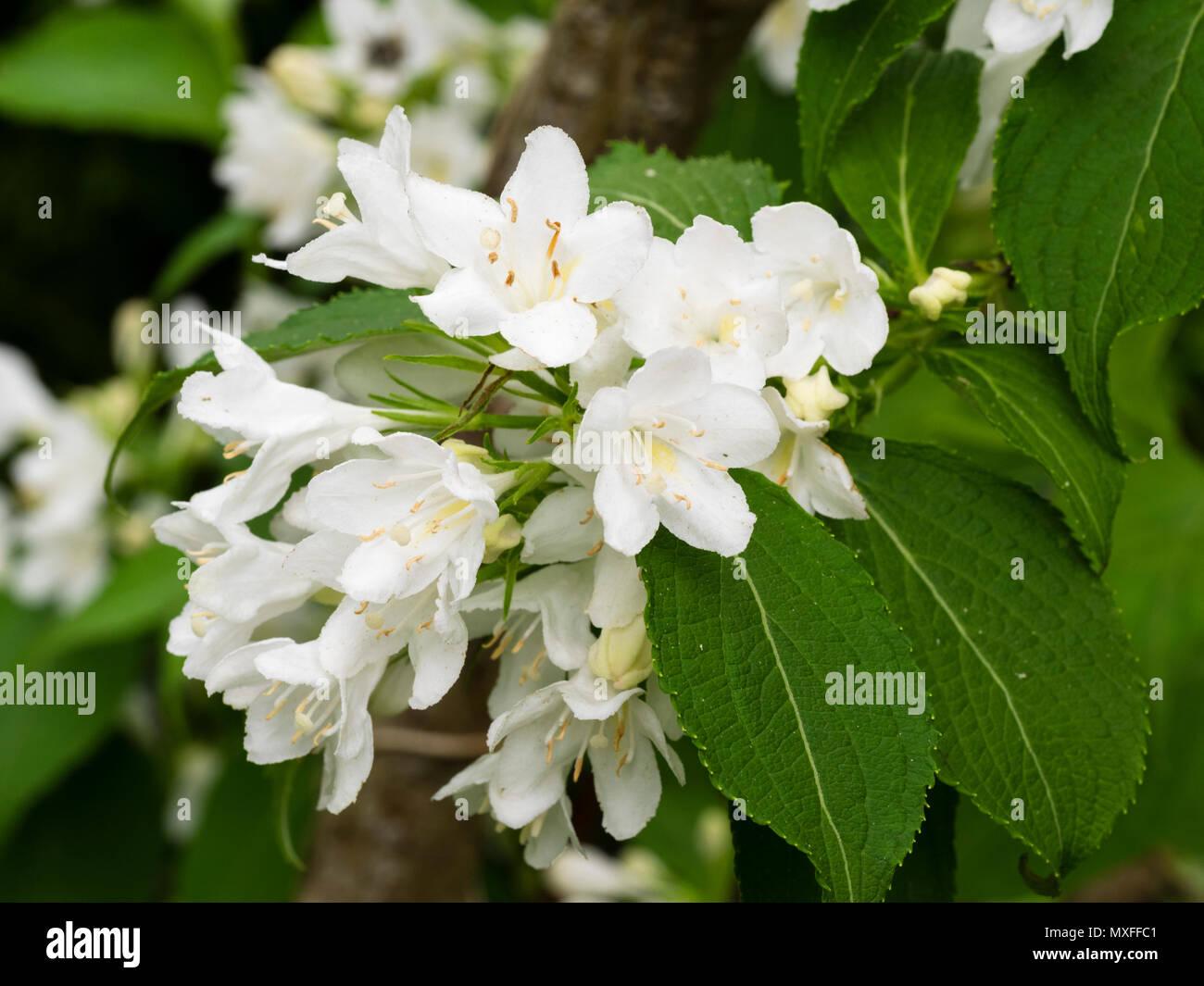 White flowers of the hardy, early summer flowering garden shrub, Weigela florida 'Snowflake' - Stock Image