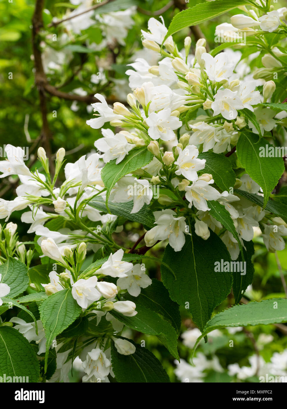 White flowers of the hardy early summer flowering garden shrub white flowers of the hardy early summer flowering garden shrub weigela florida snowflake mightylinksfo