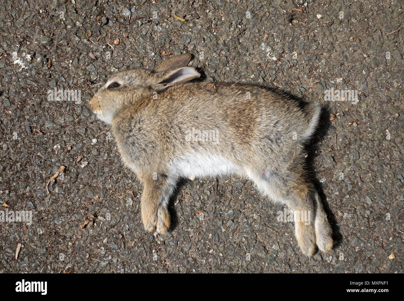 dead baby young rabbit kit - Stock Image