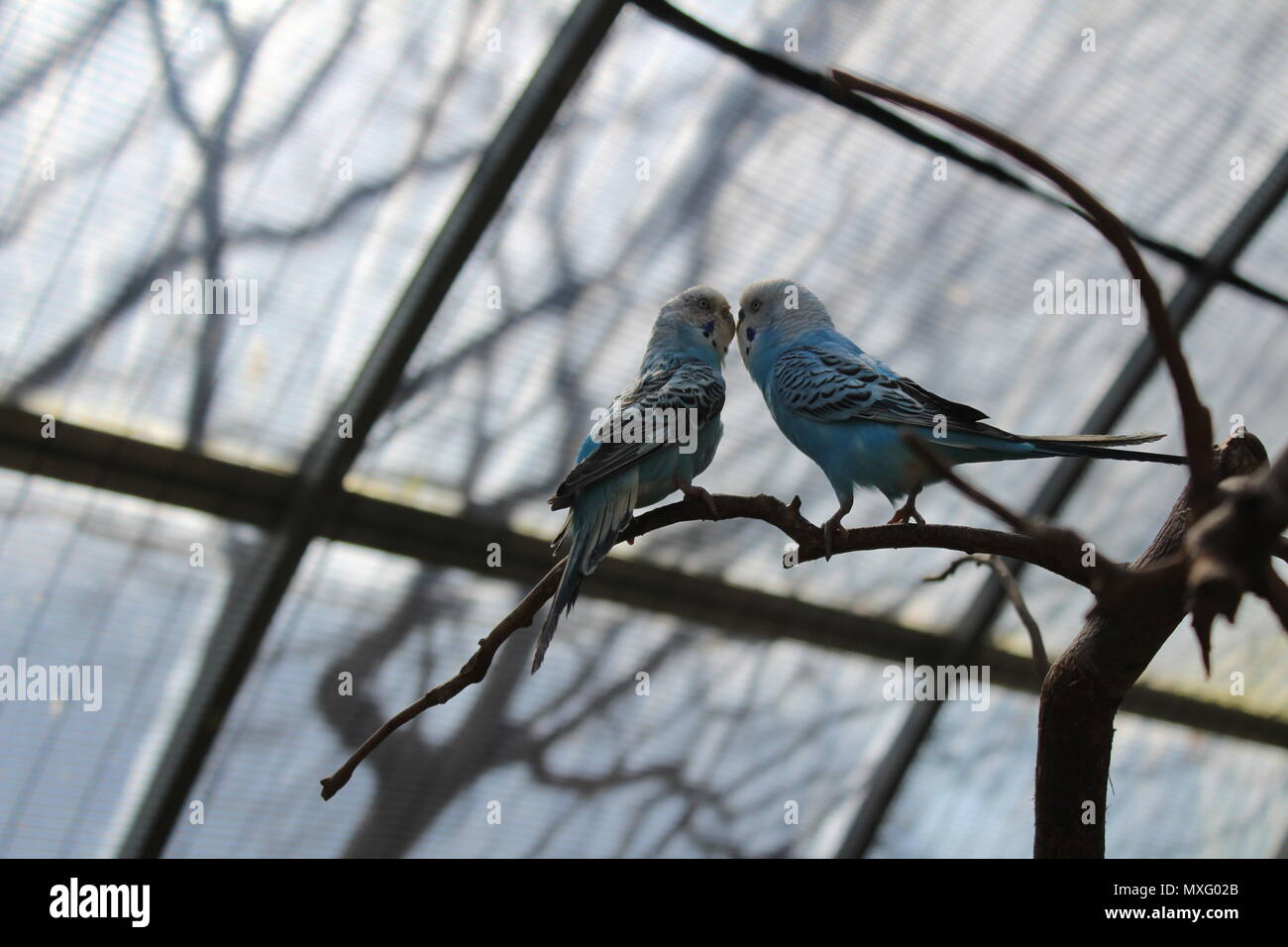 Two budgies, also known as common parakeets, displaying