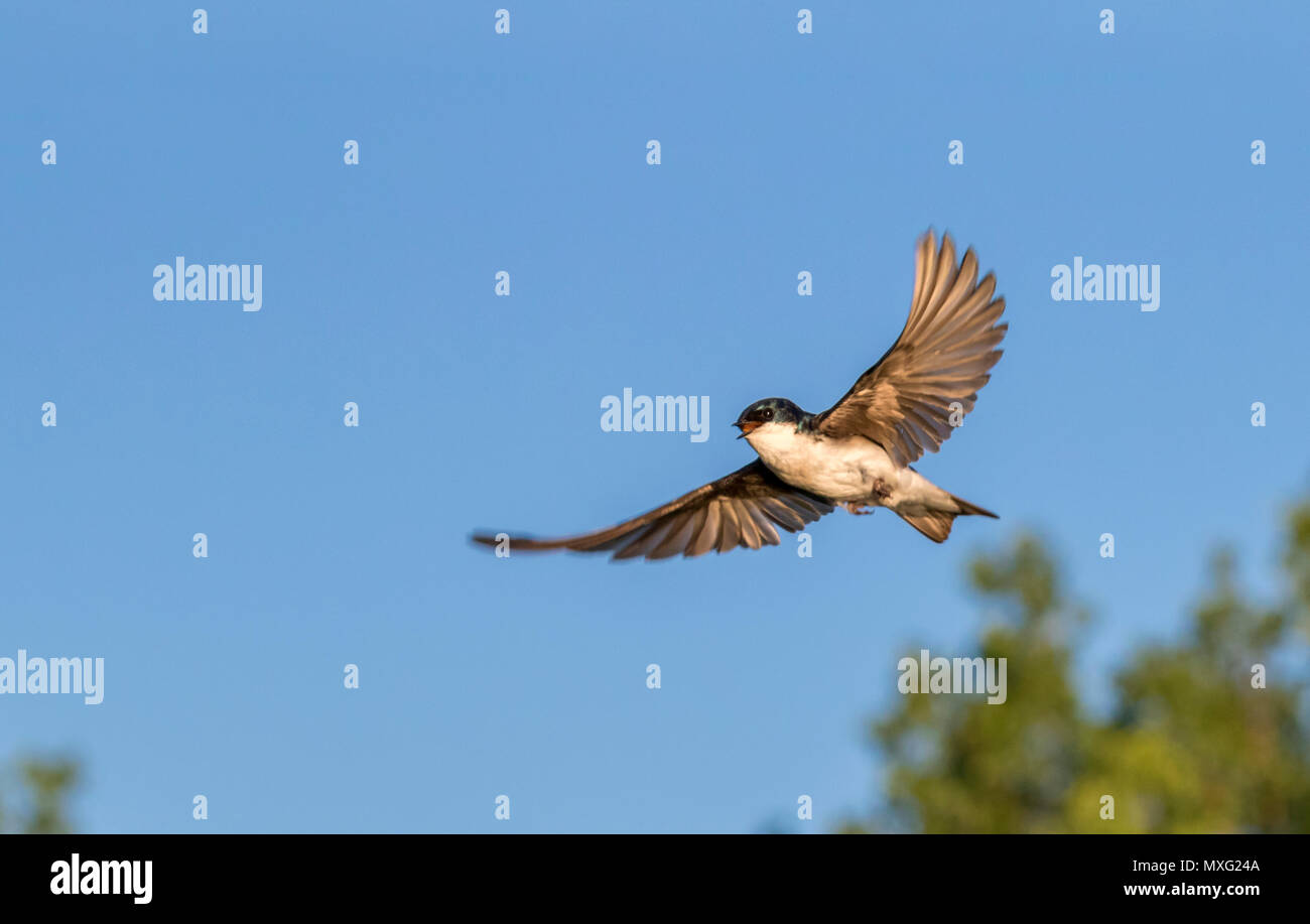 Tree swallow (Tachycineta bicolor) flying, Iowa, USA Stock Photo